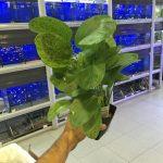 espectacular-echinodorus-ozelot-green