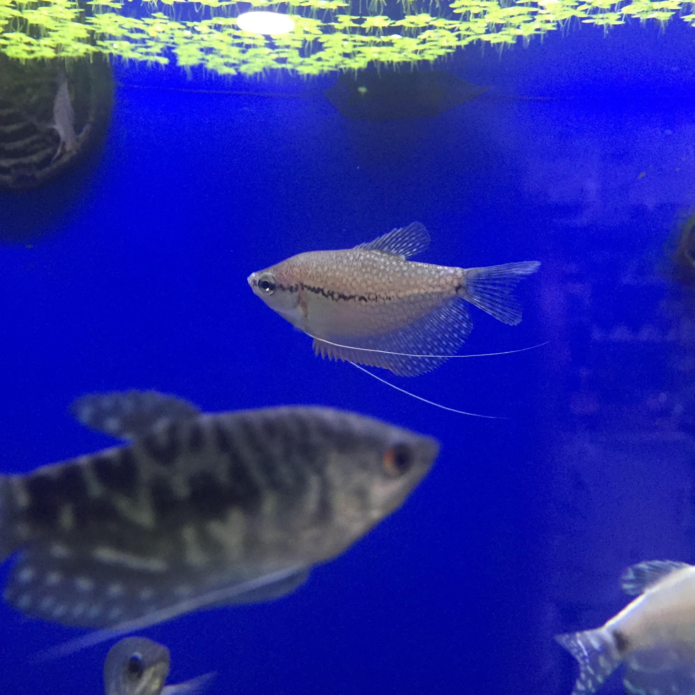 Nueva llegada de peces tropicales acuarios verdemar for Peces tropicales acuario