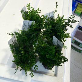 Nueva llegada de plantas acuáticas de la marca italiana Anubias 26.04