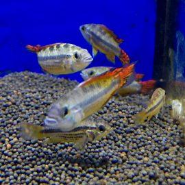 Nueva importación de peces tropicales desde Rep. Checa 04.05