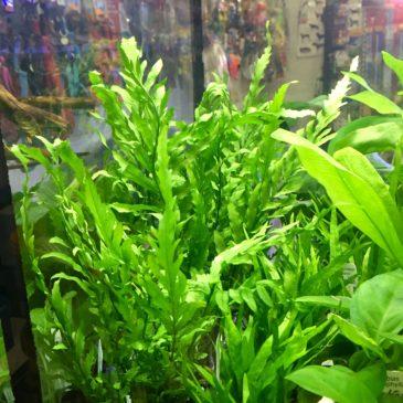 Nueva llegada de plantas acuáticas 19.07.18