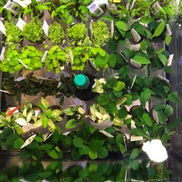Nueva llegada de plantas acuáticas en Acuarios Verdemar 07.03.19