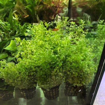 Nueva llegada de plantas acuáticas 11.07.19